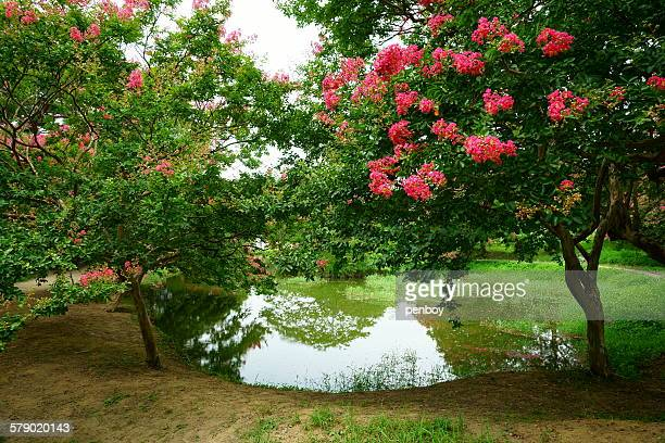 small pond in myeongokheon - crepe myrtle tree stock pictures, royalty-free photos & images