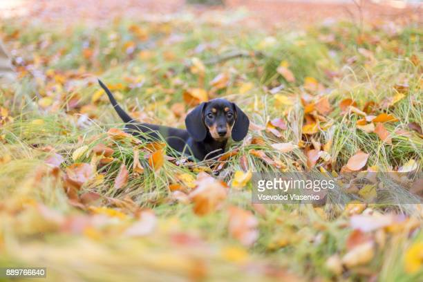 small puppy in the park - teckel stock photos and pictures