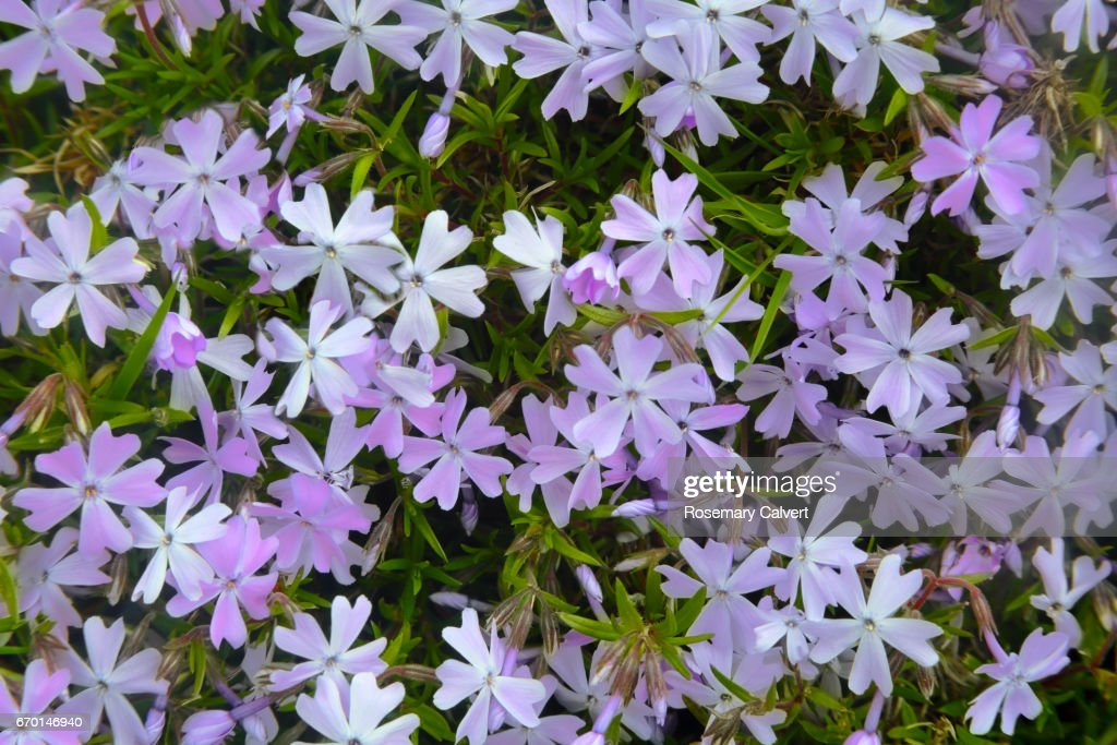 Small Purple And White Flowers Of Phlox In Garden Stock Photo