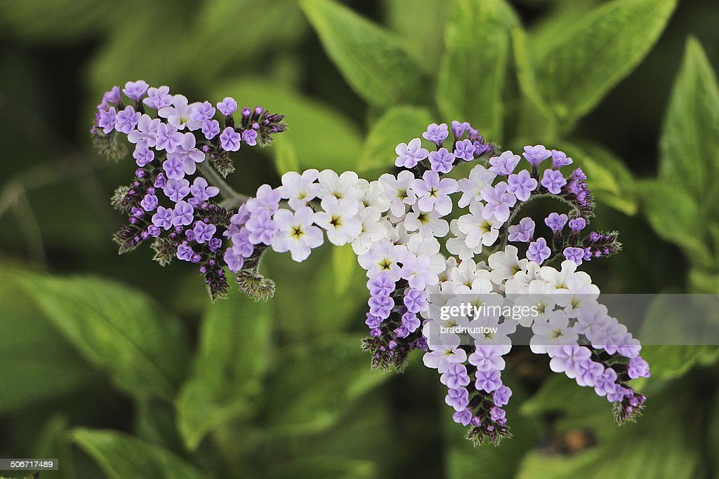 Small Purple And White Flowers Stock Photo Getty Images