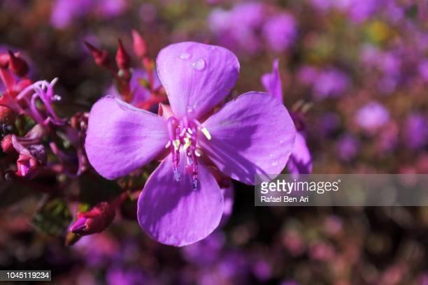 Small Purple Flower Grows in Home Garden