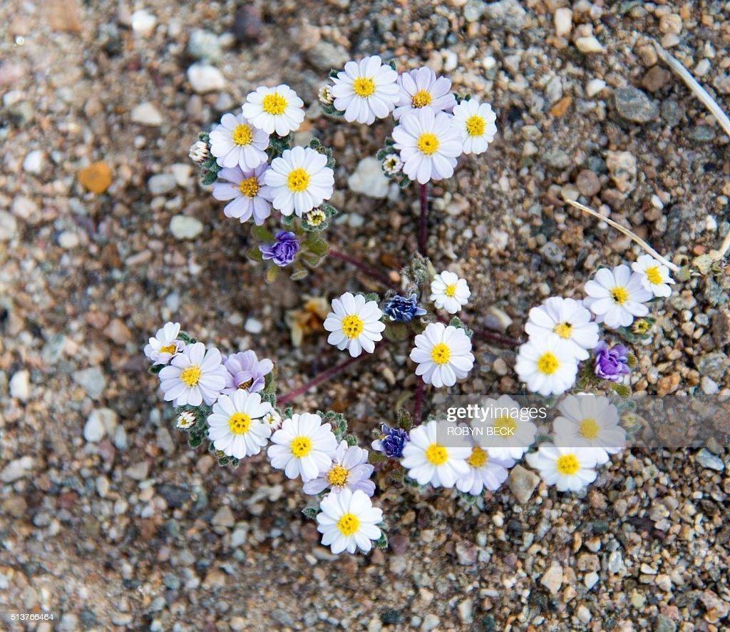 Small Purple Flowers Grow Among White Desert Star Monoptilon