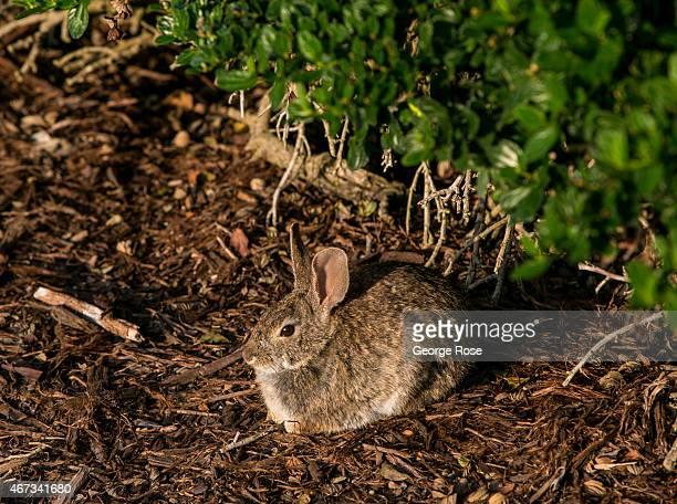 A small rabbit hides in the brush at Bacara Resort Spa on March 18 near Santa Barbara California Because of its close proximity to Southern...