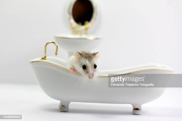 small rat taking a bath inside the white bathtub in the bathroom - gedomesticeerde dieren stockfoto's en -beelden