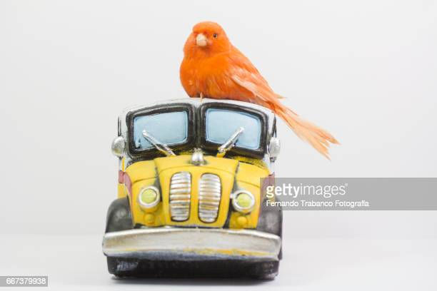 Small red bird canary drives a school bus