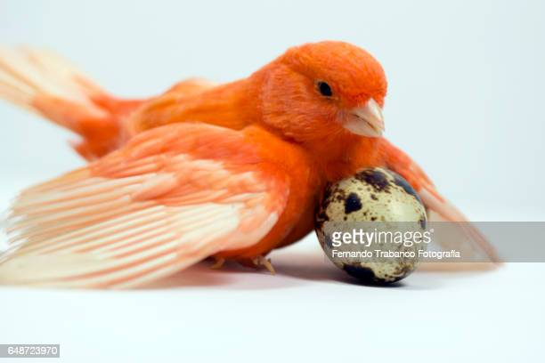 Small red canary incubates an egg with wings open