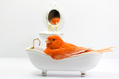 Small red canary taking a bath in the bathtub and reflection in the mirror