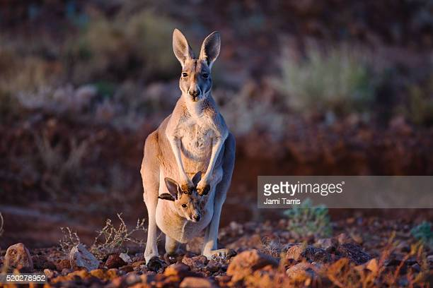 small red kangaroo joey pokes his head from mother's pouch - kangaroo stock pictures, royalty-free photos & images