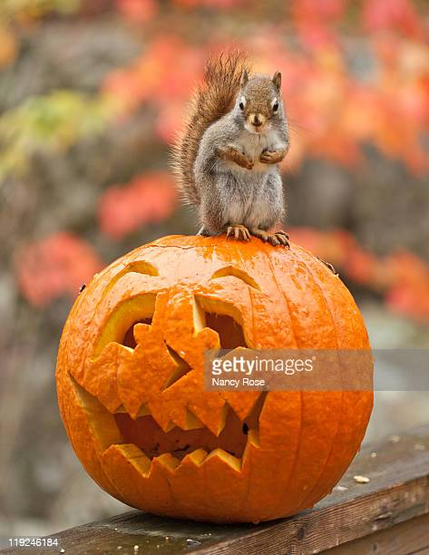 small red squirrel standing on top - bedford nova scotia stock pictures, royalty-free photos & images