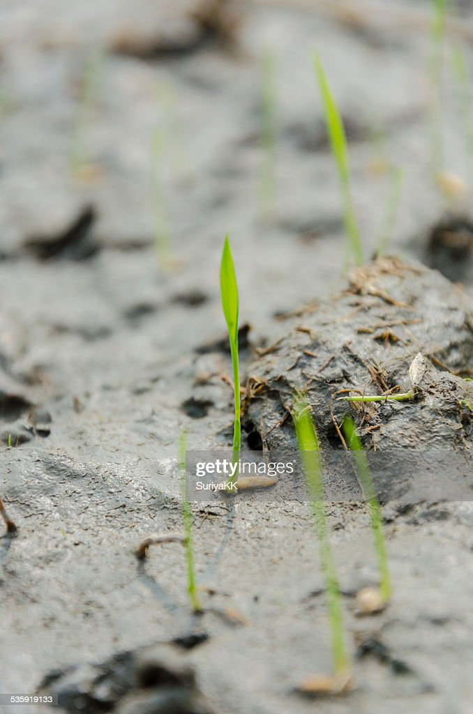 Small rice growth from seed : Stock Photo