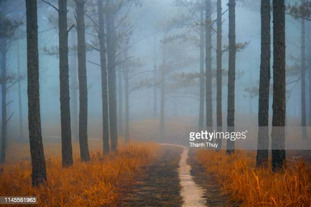 Small road on the misty pine forest