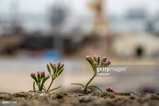 Small rock flower with pink flowers