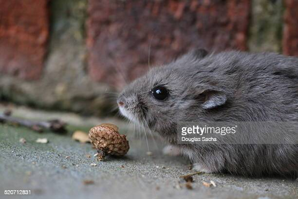 small rodent - gerbil stock photos and pictures