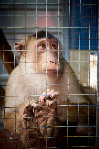 A small sad monkey in a cage. 1024088406