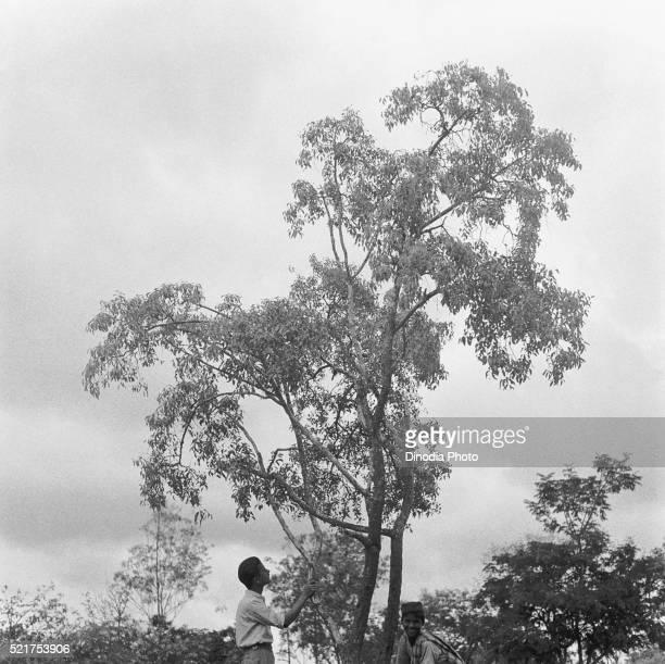 A small sandalwood tree near sandal oil extracting factory, Mysore city, Karnataka, India