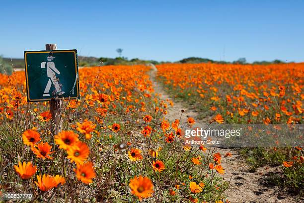a small sign, showing a hiker, marks the walkway through the flowers in the namaqualand national park, south africa - ナマクワランド ストックフォトと画像