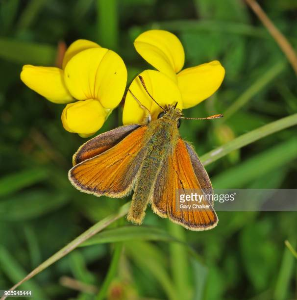 Small Skipper [Thymelicus sylvestris] butterfly