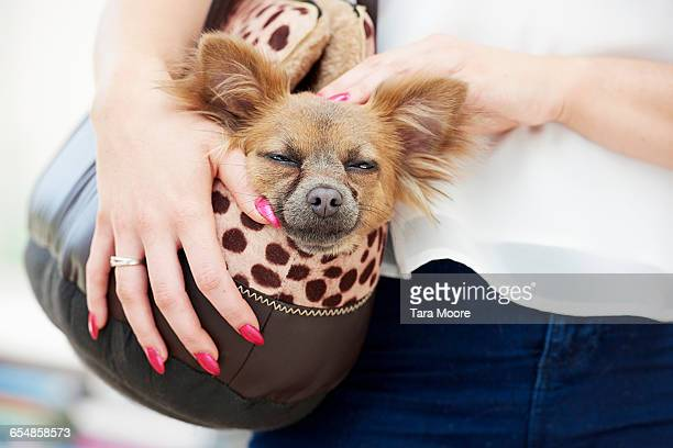 Small sleepy dog in dog purse carried by woman