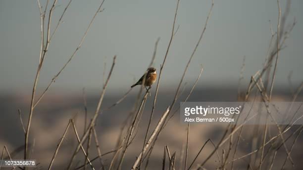 Small song bird