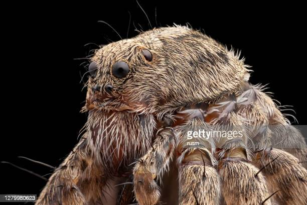small spider under microscope portrait, isolated on black background - animal hair stock pictures, royalty-free photos & images