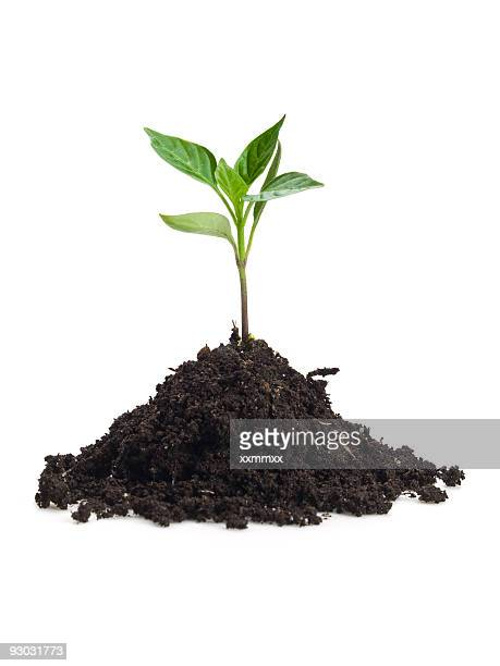 Small sprout in clump dirt on white surface
