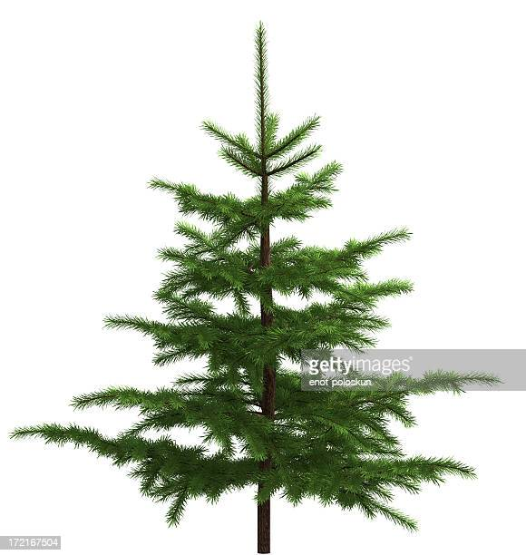 small spruce - spruce tree stock pictures, royalty-free photos & images