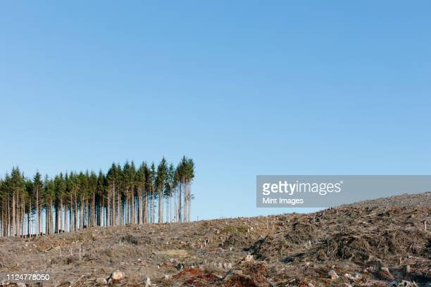 small stand of trees on the brow of a hill, surrounded by extensive cleared woodland in a national forest. - deforestation stock pictures, royalty-free photos & images