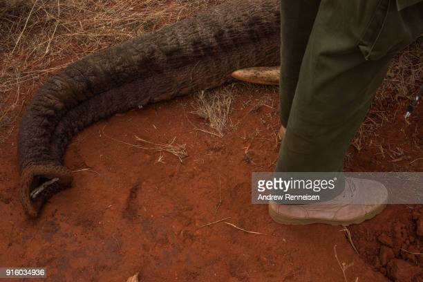A small stick sits in the trunk of Dakota a female African Savannah Elephant after she was sedated during an elephant collaring operation on February...