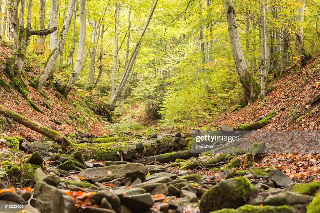 Small stream in autumn beech forest. : Photo