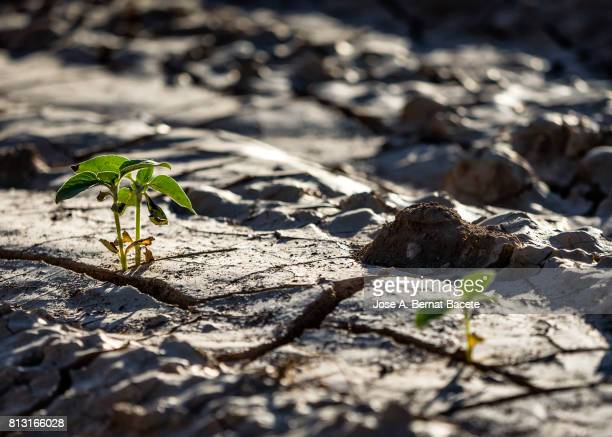 Small sunflower sprouts coming up from the earth, With cracks for the drought, Spain