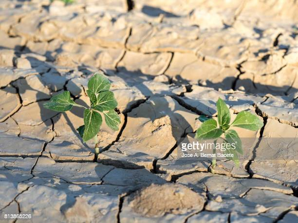 small sunflower sprouts coming up from the earth, with cracks for the drought, spain - dürre stock-fotos und bilder