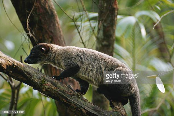 small toothed palm civet (arctogalidia trivirgata) on tree, asia - civet cat stock photos and pictures