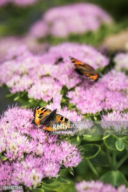 Small Tortoiseshell Butterflies Aglais urtica feeding on the flowers of a Sedum plant.