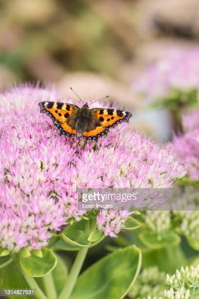 Small Tortoiseshell Butterfly Aglais urtica feeding on the flowers of a Sedum plant.