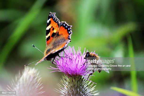 small tortoiseshell butterfly and bee - gregoria gregoriou crowe fine art and creative photography. stock pictures, royalty-free photos & images