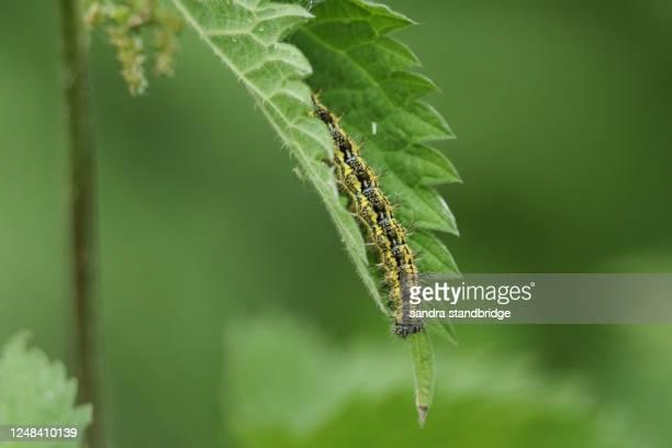 a small tortoiseshell butterfly caterpillar, aglais urticae, feeding on a stinging nettle plant. - イラクサ ストックフォトと画像