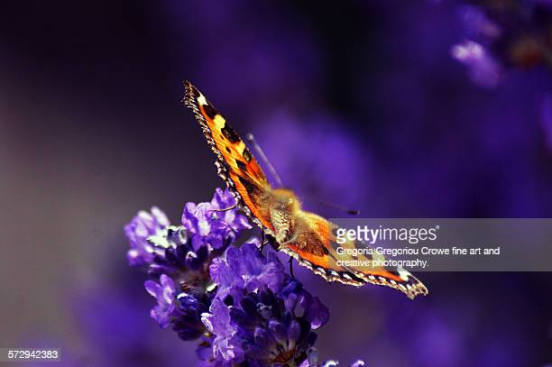 small tortoiseshell butterfly - gregoria gregoriou crowe fine art and creative photography. stock pictures, royalty-free photos & images