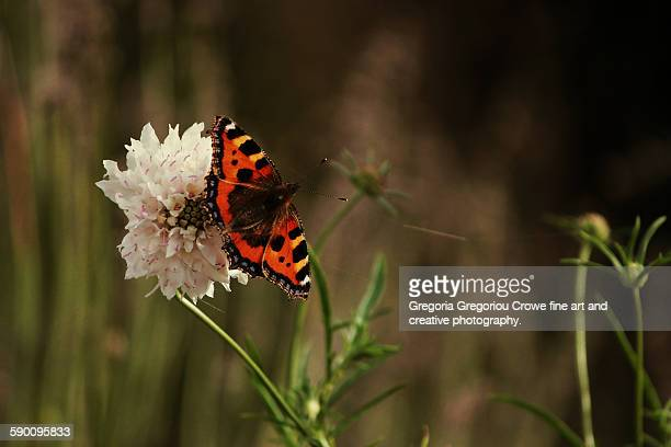 small tortoiseshell butterfly - gregoria gregoriou crowe fine art and creative photography stock-fotos und bilder