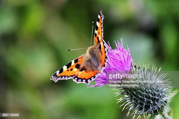 small tortoiseshell butterfly - gregoria gregoriou crowe fine art and creative photography. stock photos and pictures