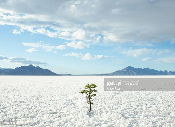 small tree growing on salt flats - resilience stock photos and pictures