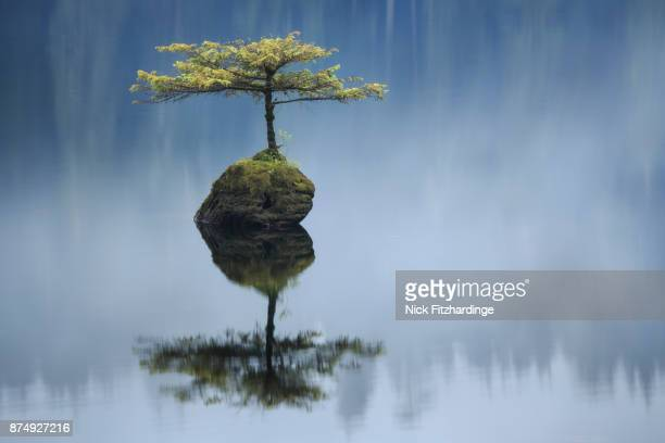 a small tree growing out of a submerged stump in fairy lake, port renfrew, british columbia, canada - bonsai tree stock pictures, royalty-free photos & images