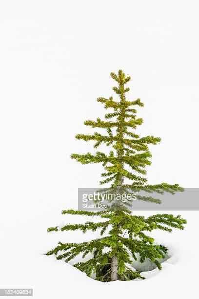 Small tree in snow, Banff, Alberta, Canada
