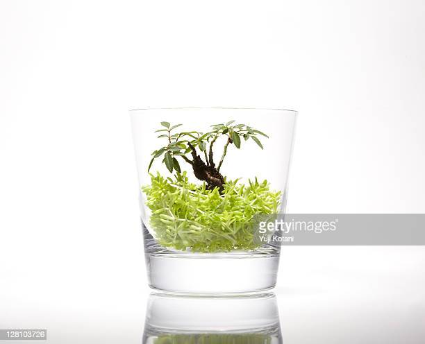 Small tree in the glass