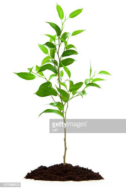 Small tree isolated with soil