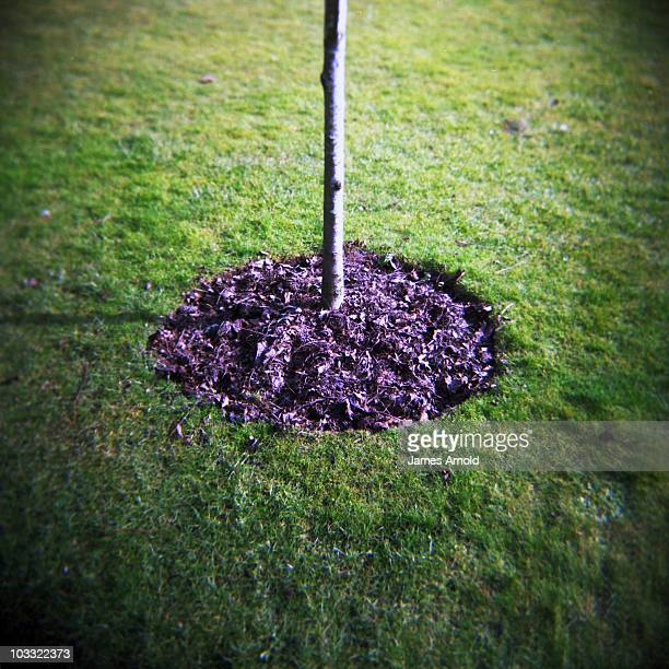 a small tree, mulch in a circle and grass - mulch stock pictures, royalty-free photos & images