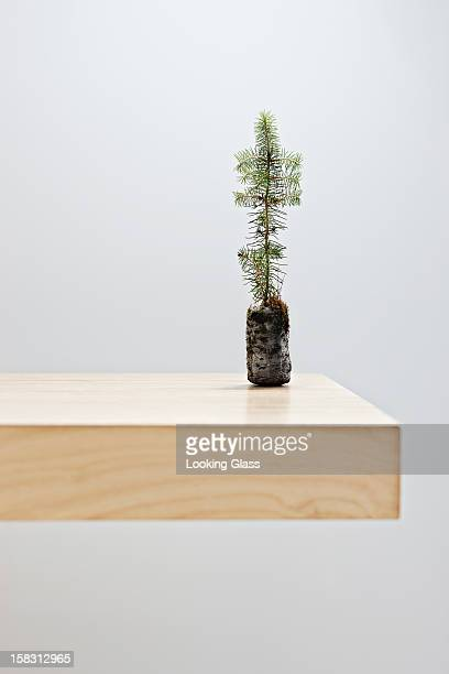 Small tree on table top