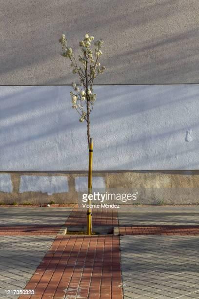 small tree on the sidewalk - vicente méndez fotografías e imágenes de stock