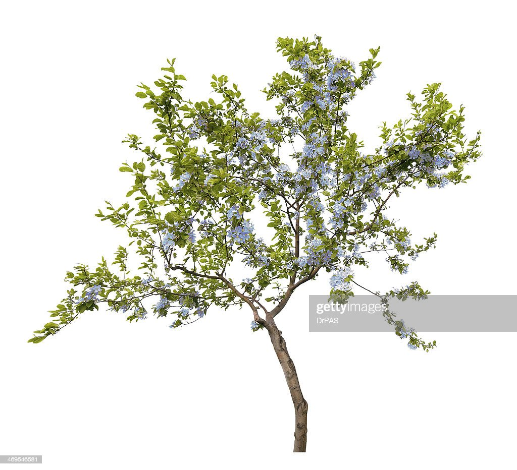 Small tree with blue flowers isolated on white stock photo getty small tree with blue flowers isolated on white stock photo izmirmasajfo