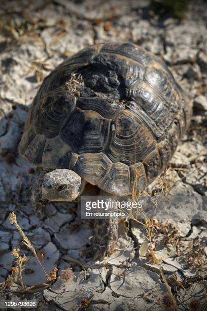 small turtle moving along the road on a sunny day. - emreturanphoto stock pictures, royalty-free photos & images