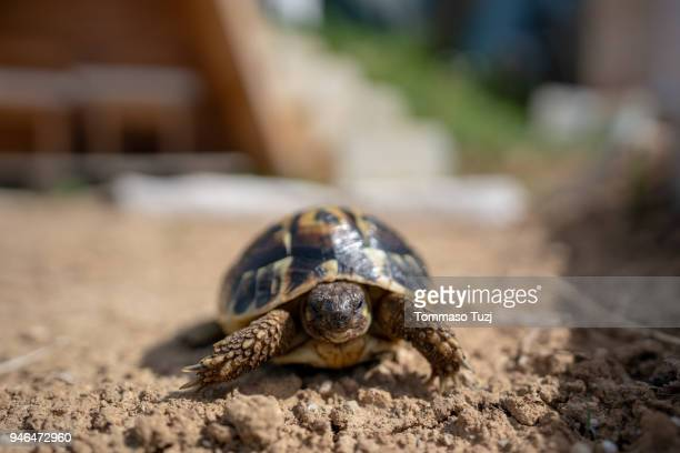 small turtle - box turtle stock pictures, royalty-free photos & images